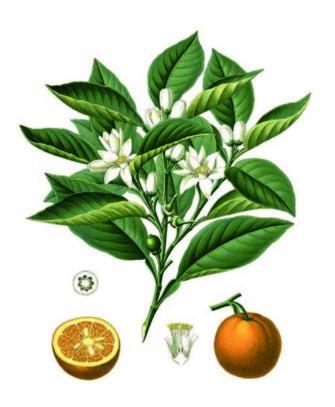 cioccolato affinato nei fiori d'arancio